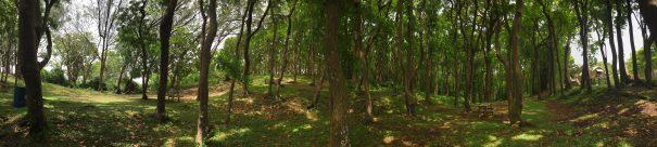 barbados-farley-hill-mahogany-trees